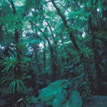 Tropical rainforest high on Mt. Scenery . Ingestion of such vegetation by pyroclastic flows increases explosivity and produces ash-rich pyroclastic deposits.